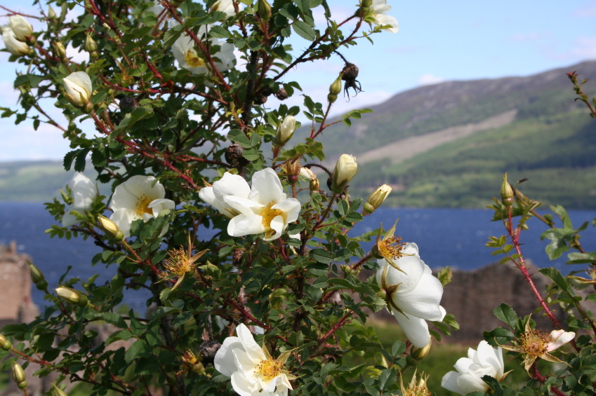 The Little White Rose